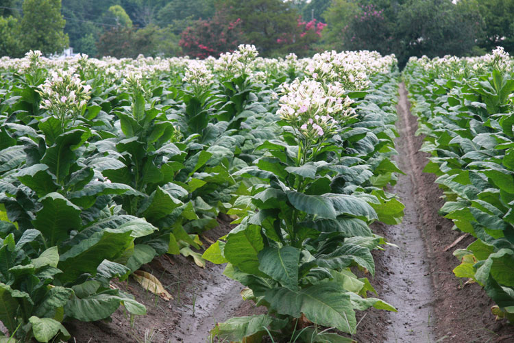 rows of tobacco growing